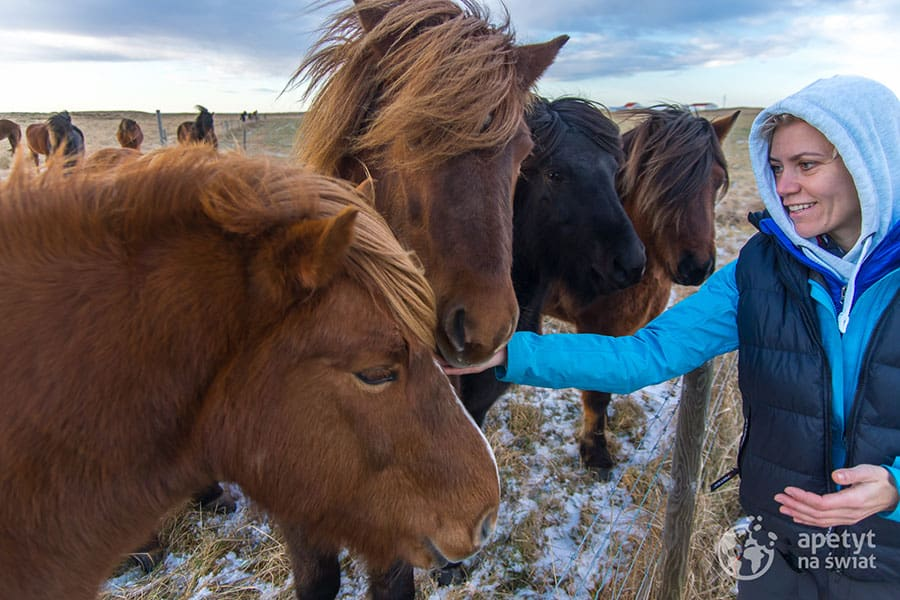 Islandzkie konie, islandzkie kuce