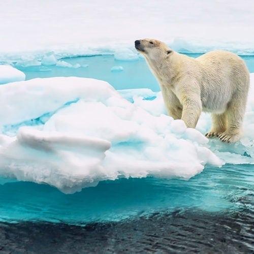 Svalbard - niedźwiedź polarny