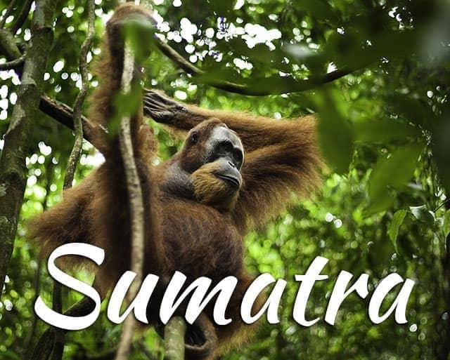 Sumatra orangutan Bukit Lawang