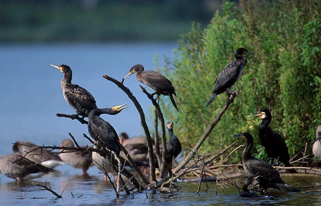 Rezerwat kormoranów