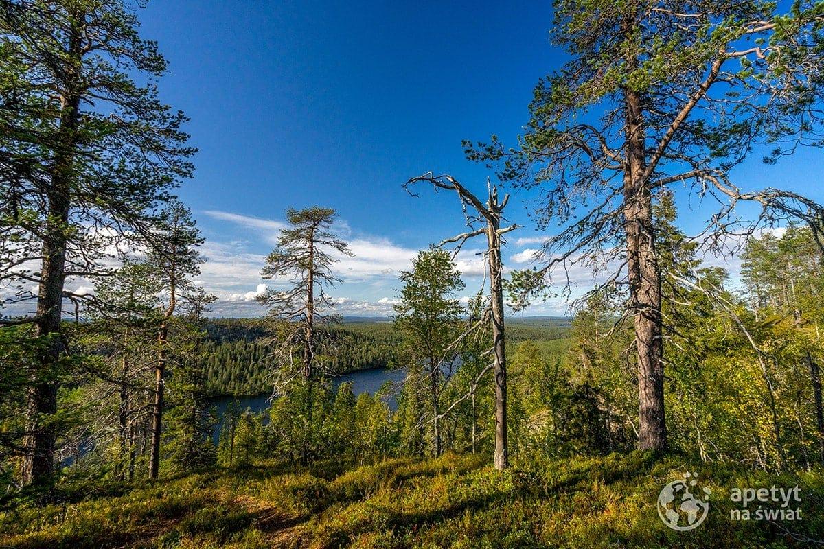 Szlak Karhunkierros, fińska Laponia, las, tajga