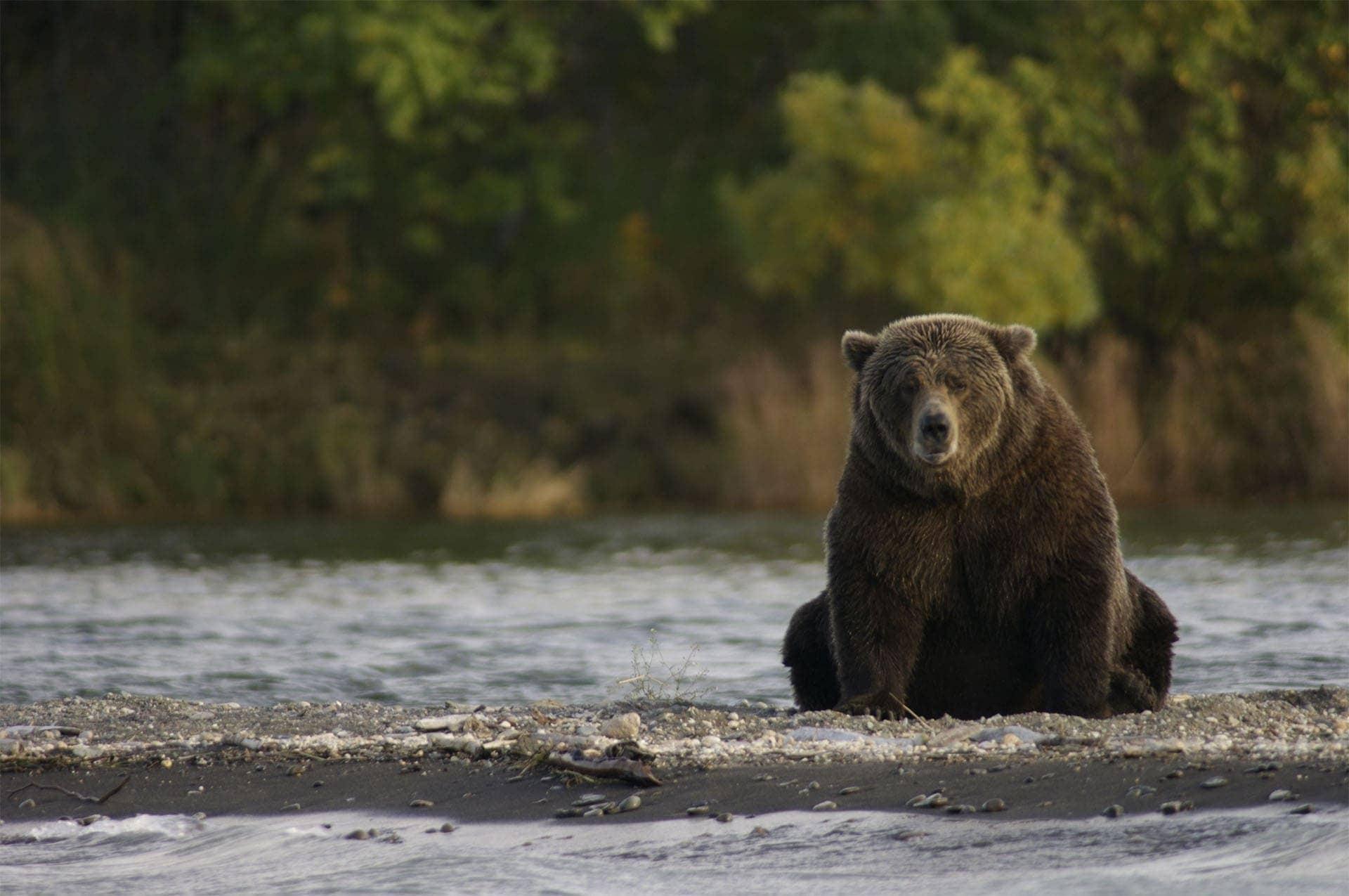 Kanada, Alaska, niedźwiedź grizzly wrzece