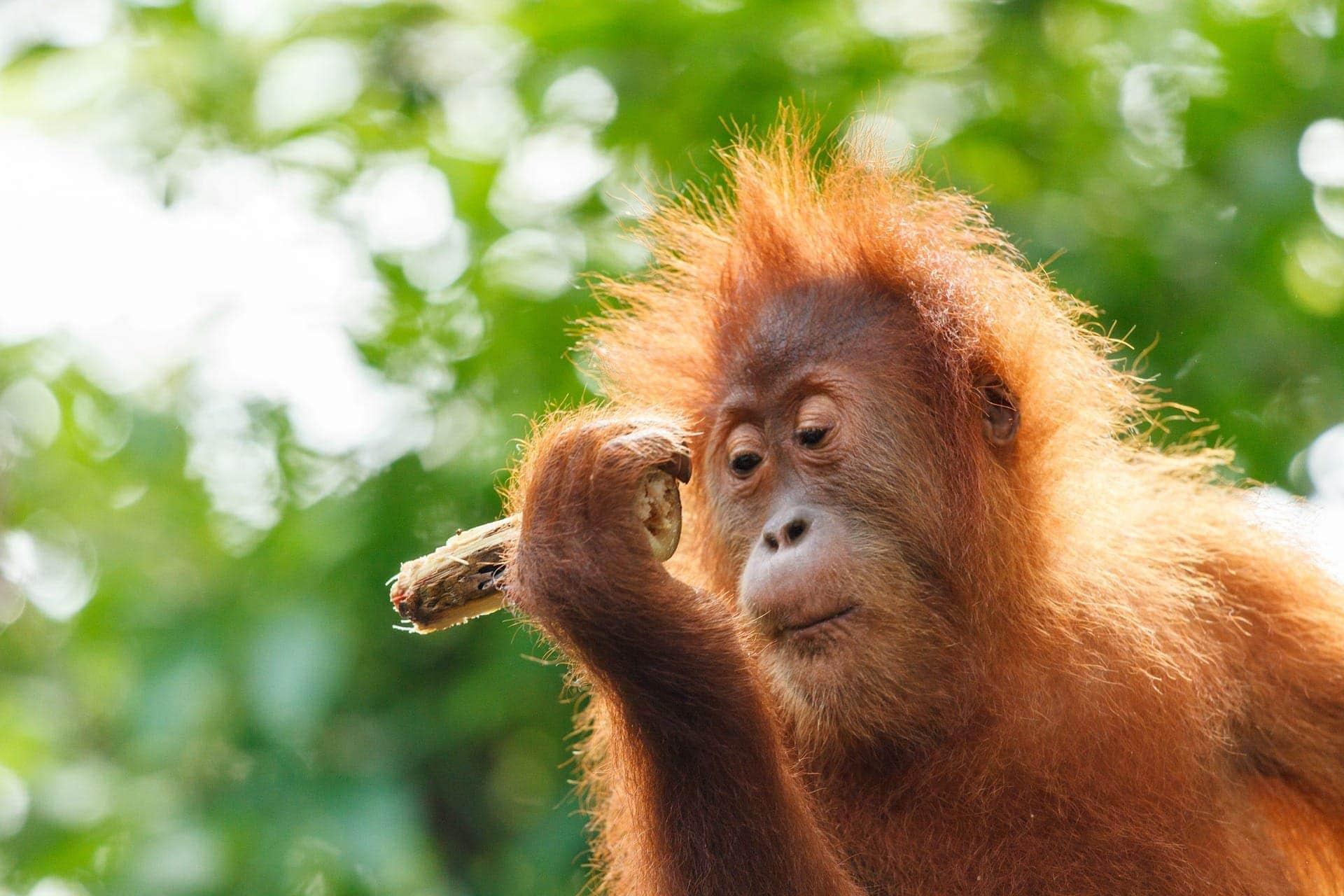 Bukit Lawang naSumatrze, orangutan wdżungli
