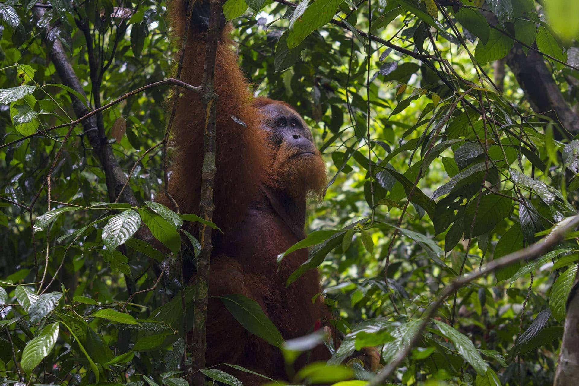 Sumatra - orangutan wdżungli