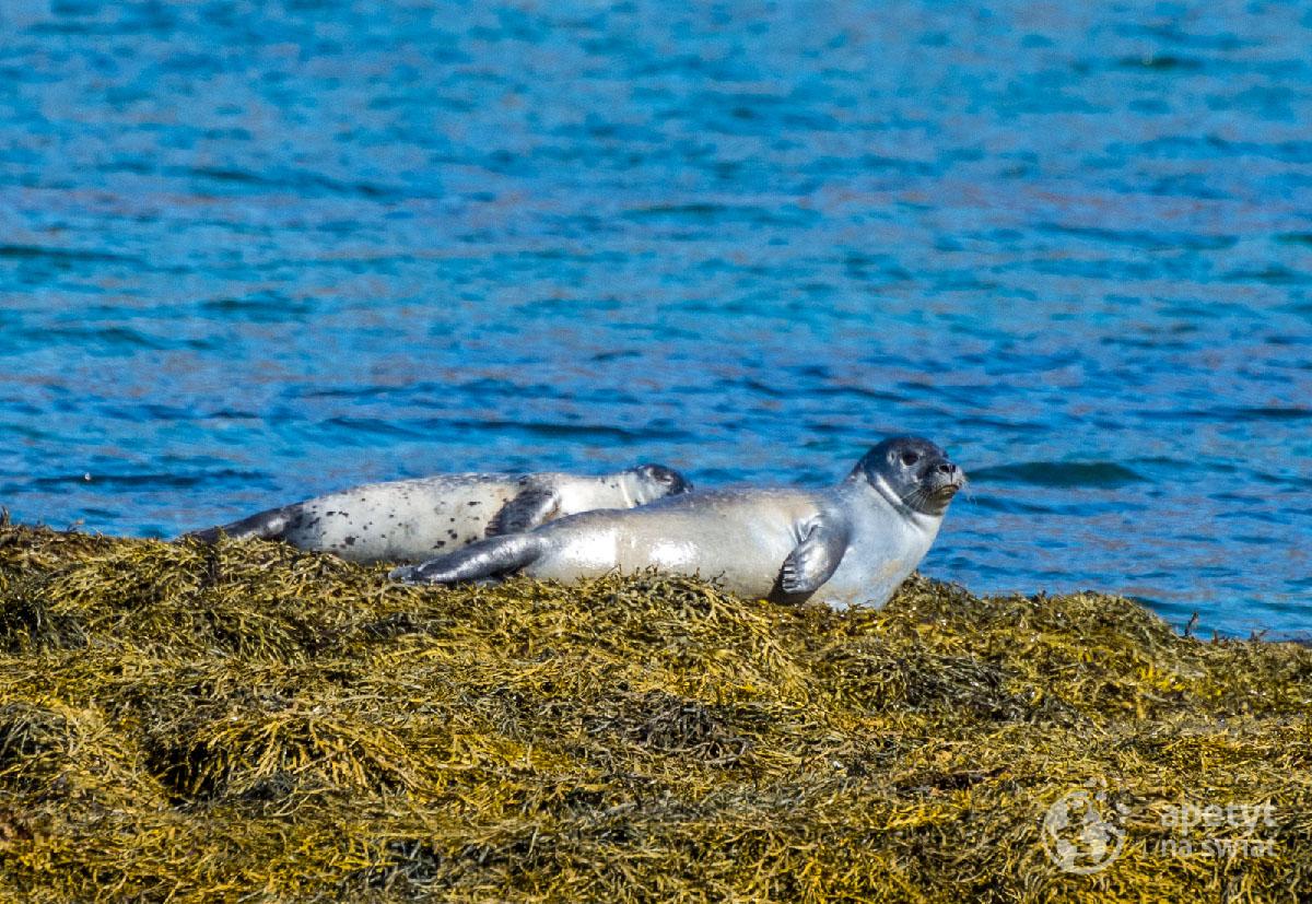 Islandia - foki wylegujące się nawybrzeżu